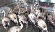 20 flamingo yeniden özgürlüğüne kavuştu