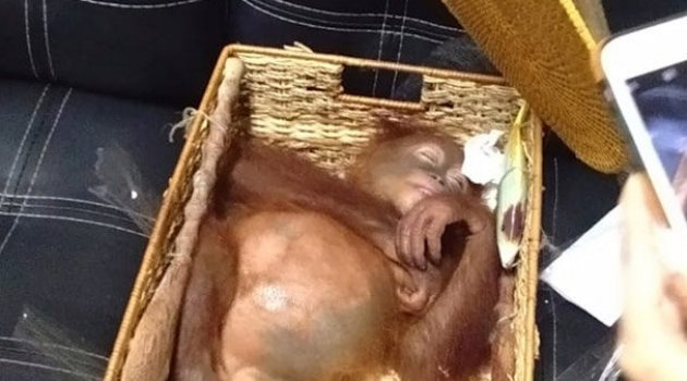 Kaçırılmaya çalışılan küçük orangutan havalimanında kurtarıldı