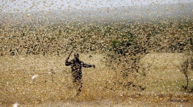 Hindistan'da çekirge sürüsü istilasına karşı sıra dışı yöntem