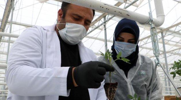 Sibirya soğuklarında domates üretilecek