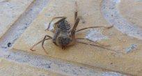 Etobur örümcek 'Sarıkız' bulundu