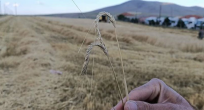 Yunak'da arpa hasadı başladı